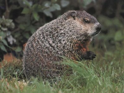 Groundhogs can also become a
